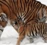 【图】2016年属虎的几月出生最好 这些月份出生不太好