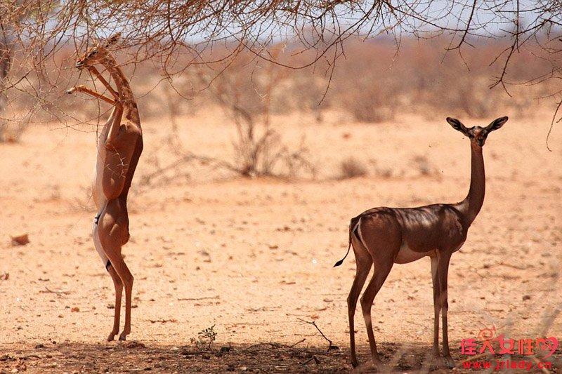 近日,一系列拍摄世界上罕见动物的照片在网络公开,从脖子特长的非洲