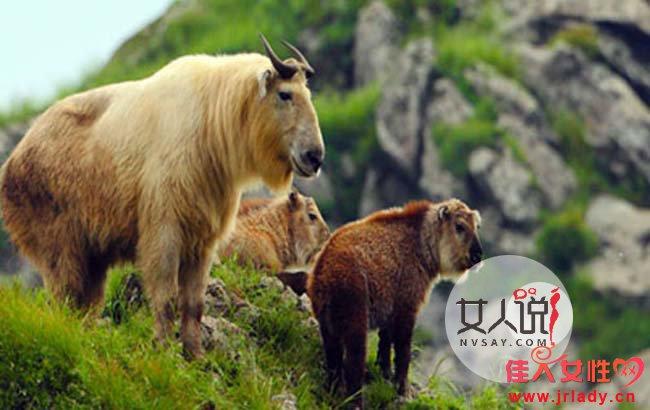 羚牛被铁丝勒死 野生动物惨遭偷猎者残忍杀害引网民