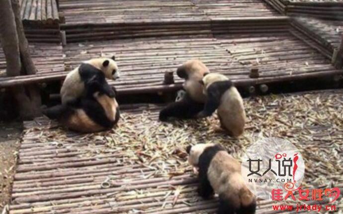 3只大熊猫打群架 体态肥胖圆滚滚模样令人喜爱不已
