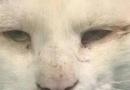 成都猫割双眼皮一跃成网红 判若两猫萌化网友