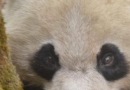 大熊猫淘淘回捕 为什么要回捕
