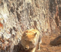 青海发现野生藏狐 是真的吗高清视频图片