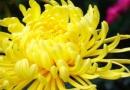 补维生素菊花强过蔬菜水果 菊花泡酒能抗衰老